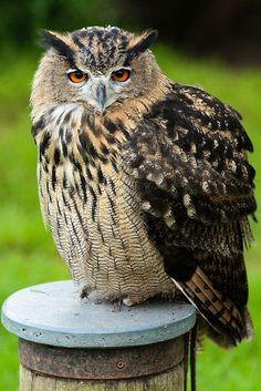 Eagle Owl #Owls #BirdsofPrey #BirdofPrey #Bird of Prey #LIFECommunity #Favorites From Pin Board #09