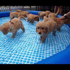 Golden Retriever puppy pool party!