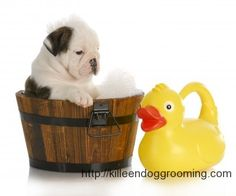 dog photo, english bulldog, puppies, bulldog possess, puppi clean, bulldog daili, puppi bath, pet shower, bath time
