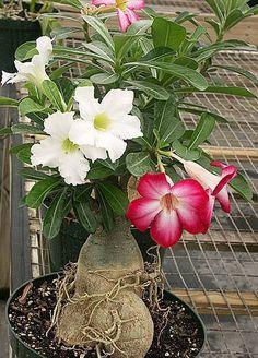 bonsai beauti, desert bonsai, impala, adenium hybrid, desertoadeniun obesum, rose desert, desert rose, garden, flower