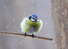 Bird photography tips: Digital Photography Review Blue Tit