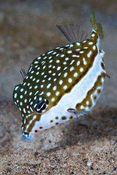 Female Whitleys Boxfish by Benthichi, via Flickr