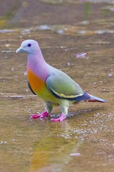 How pretty. I wish our pigeons looked like this. The Pink-necked Green Pigeon (Treron vernans) is a species of bird in the Columbidae family. (NOT photoshopped) It is found in Cambodia, Indonesia, Malaysia, Myanmar, the Philippines, Singapore, Thailand, and Vietnam. Its natural habitats are subtropical or tropical moist lowland forests, subtropical or tropical mangrove forests, and subtropical or tropical moist montane forests.