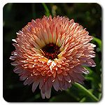 Organic Strawberry Blonde Calendula