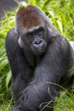 "The word ""gorilla"" is from a Greek word meaning ""tribe of hairy women."""