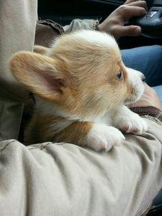 Baby Corgis look cute on car rides