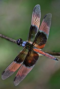 Dragonfly colourful wings