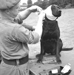 A sergeant of the Royal Army Veterinary Corps bandages the wounded ear of a dog in 1944