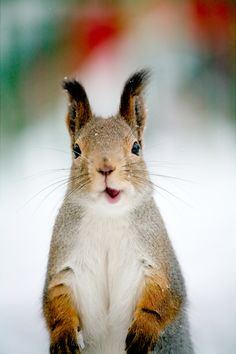 """{a Russian squirrel} i like to think he's saying """"privyet!"""""""