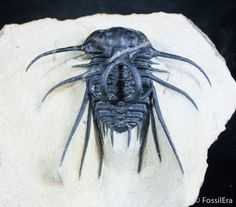 An alien-like trilobite Dicranurus monstrosus.