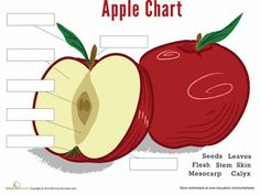 Worksheets: Parts of an Apple