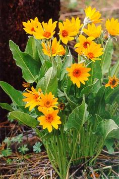 Arrow-leaved balsamroot Balsamorhiza sagittata all parts of plant are edible. peeled roots, young stems and leaf stalks are best. roots are ...