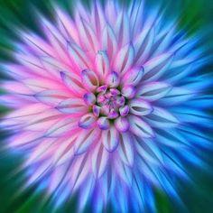 flowersgardenlove:  Two Toned Dahlia Beautiful tone dahlia, afghan patterns, group boards, soft colors, dahlias, pink, garden, blues, flower