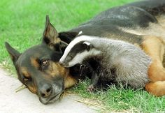 The GeRMaN SHePHeRD–DoBeRMaN MiX aND His BaBY BaDGerR ___Most Touching Interspecies Friendships You Never Thought Possible