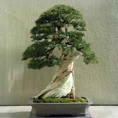 Bonsi Tree