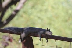 what squirrels seem to do on very hot days...unable to make a pest out of himself