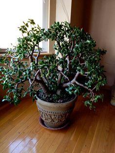 jade plants are amazing!