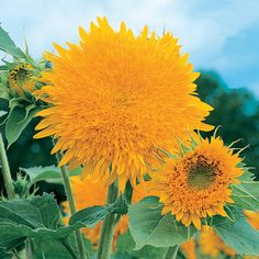 Sunflower Giant Sungold
