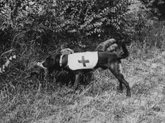 circa 1917: A Red Cross dog finds a wounded soldier. (Photo by Hulton Archive/Getty Images)