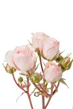 Light pink spray roses