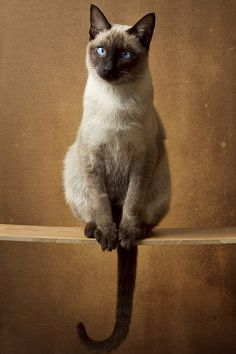 Siamese if you please.