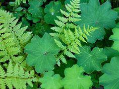 plant, perenni flower, lady's mantle, yard, garden idea, flower ideas, shade, ladi mantl