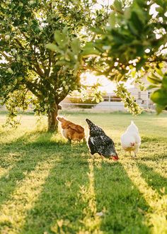 fall leaves, early mornings, countri life, chicken scratch, the farm, country life, hen, sun rays, keeping chickens