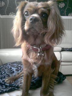 Cavalier King Charles Spaniel #dogs #animal #king #charles