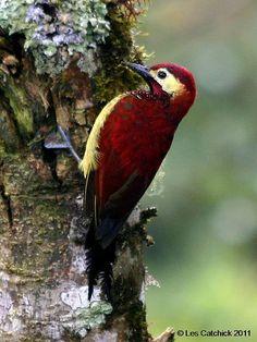 Crimson-mantled woodpecker - male | Flickr - Photo Sharing!❤️