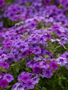 Intensia Blueberry' Phlox plant, beds, colors, gardens, gardening, color combinations, flowers, blueberries, intensia blueberri
