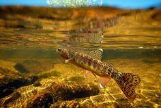 California Golden Trout Oncorhynchus mykiss aguabonita fli fish, trout oncorhynchus, california golden, oncorhynchus mykiss, golden trout, mykiss aguabonita
