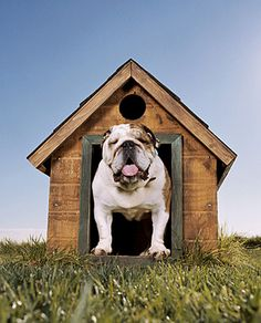 help student, pet, english bulldogs, cheer bulldogn, dog houses, bulldog thingsthatmakemesmil, puppi, bulldogn boyervalley, doghous