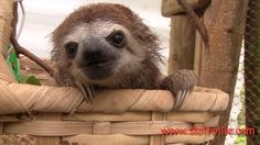 Is there anything cuter than a squeaking sloth? I think not. I could not stop laughing over their tiny squeaks!