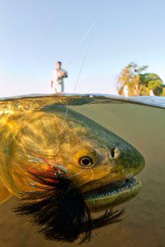 Rodtrip - The Scary Golden Dorado by Stephan Dombaj fli fish, dorado argentina, fish pictur, rodtrip, scari golden, dorado underwatershot, close, golden dorado