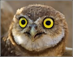 """Dave Collins Images  What big eyes you have! """"Juvenile Burrowing Owl from my workshop."""""""