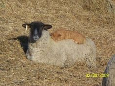 Sonya Bendickson of Griggs County, North Dakota found a barn cat sleeping on her sheep named April. When Sonya fetched her camera the other sheep in the yard stood up, thinking they might be getting food. April stayed put though since she did not want to disturb her new friend.