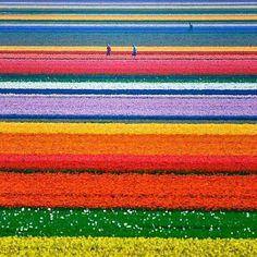 """@Blabla Car's photo: """"Monday wishes!  #tulips #garden #netherlands #travel #colours #keukenhof"""""""