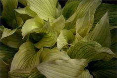 White-leaved hosta