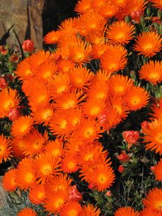 Love this bright orange and yellow ice plant.