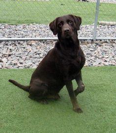 Adopt Hershey, Labrador Retriever