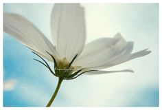 White Cosmo Photo White Fresh Bright New Blue by BitsofLifeImages, $30.00