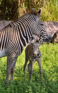 "Here's your ""Awww"" moment. #BuschGardens #BabyAnimals #CuteAnimals"