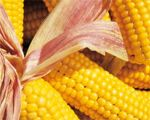 Maize/Corn - Phadia - Setting the Standard - Phadia.com