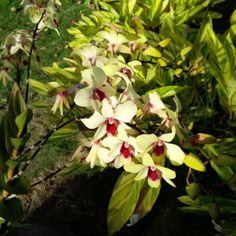 Antigua Orchids