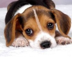 Natural Remedies for Dog Ear Mites | eHow.com