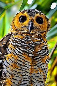 Spotted Wood Owl by Aditya Rangga