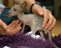 Sabrina the baby kangaroo (Serengeti Park / EPA)