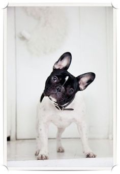 bulldog frances, anim, french bulldogs, pet, frenchi