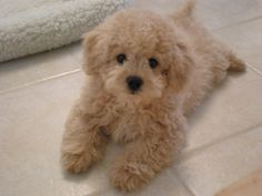 poodl, anim, cutest dogs, weight loss, teddy bears, puppy pictures, lhasapoo, puppi, lhasa apso