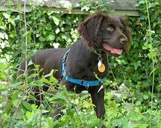 South Carolina State Dog: Boykin Spaniel. Our son has one named Scarlet and she is precious